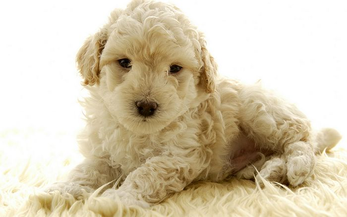 cute puppies wallpaper. Puppy wallpapers 1440x900,