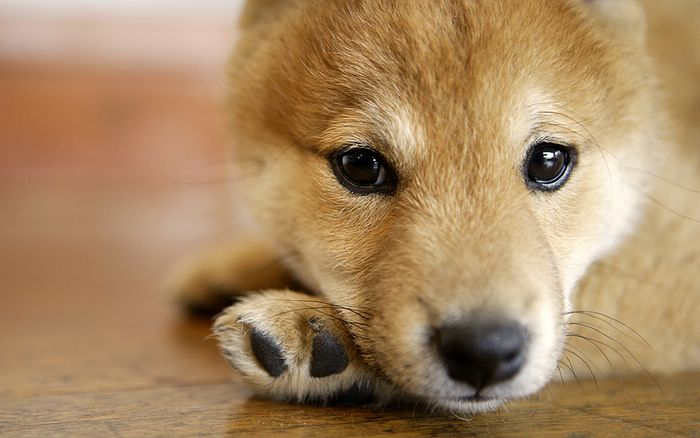wallpaper puppies. Puppy wallpapers 1440x900,