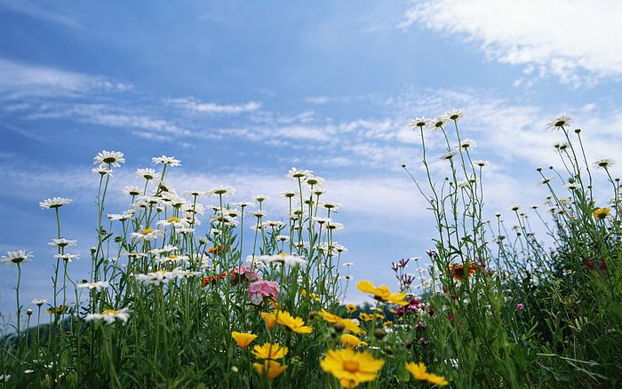 sunny skies wallpaper. Daisy Flowers wallpaper
