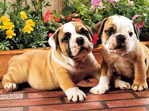 Bulldog photos - Bulld...