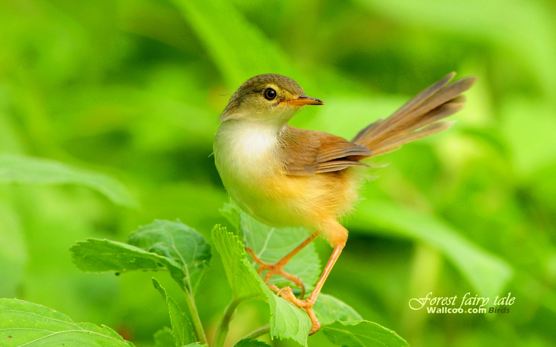 birds, wallpapers, plain, prinia, little, gorgeous, animal, cute