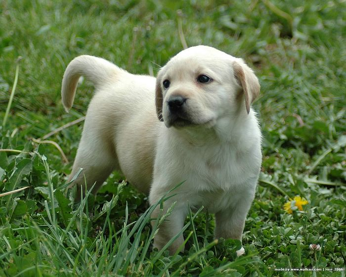 Lovely Labrador Retriever Puppies on Farm :1600*1200 Labrador Puppy ...