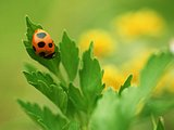Flowers and insects - Ladybirds8 pics