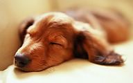 Miniature Dachshund Puppies (Vol.2)42 pics