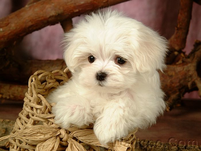 White Puppy Dog pictures,