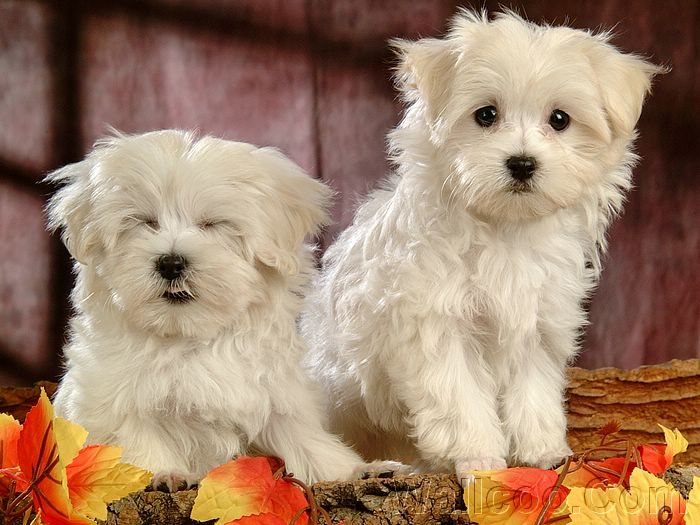 cute puppy wallpapers. Puppies wallpaper 、Cute