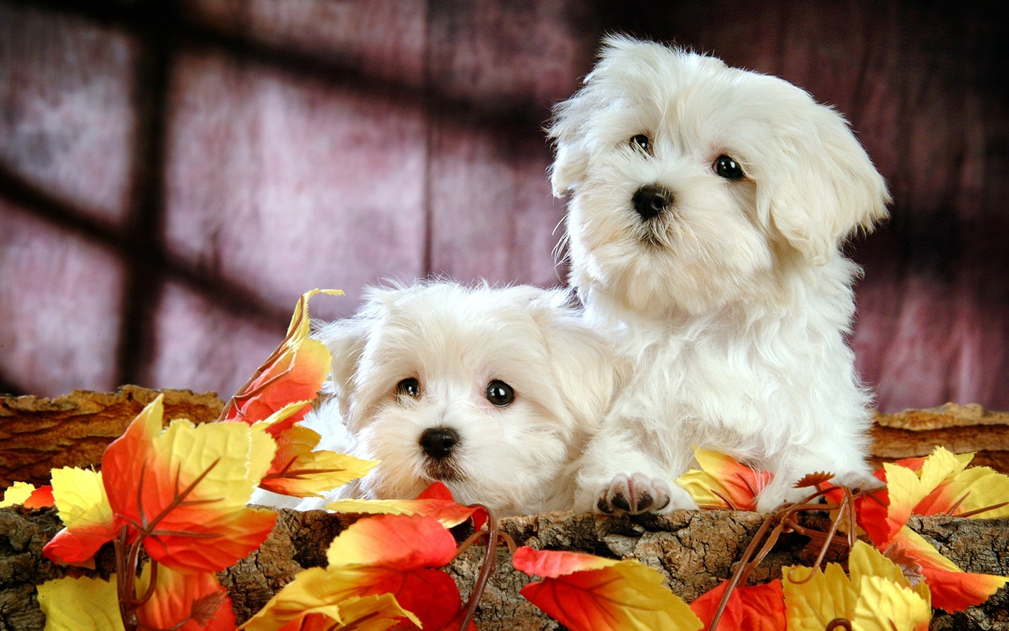 Fluffy maltese puppy dogs white maltese puppies wallpapers 1440 900