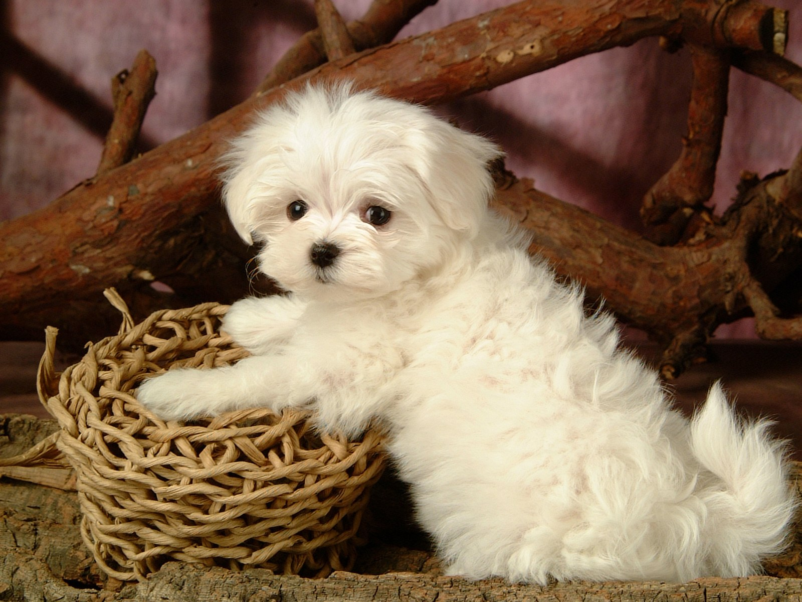 Fluffy maltese puppy dogs white maltese puppies wallpapers 1600 1200