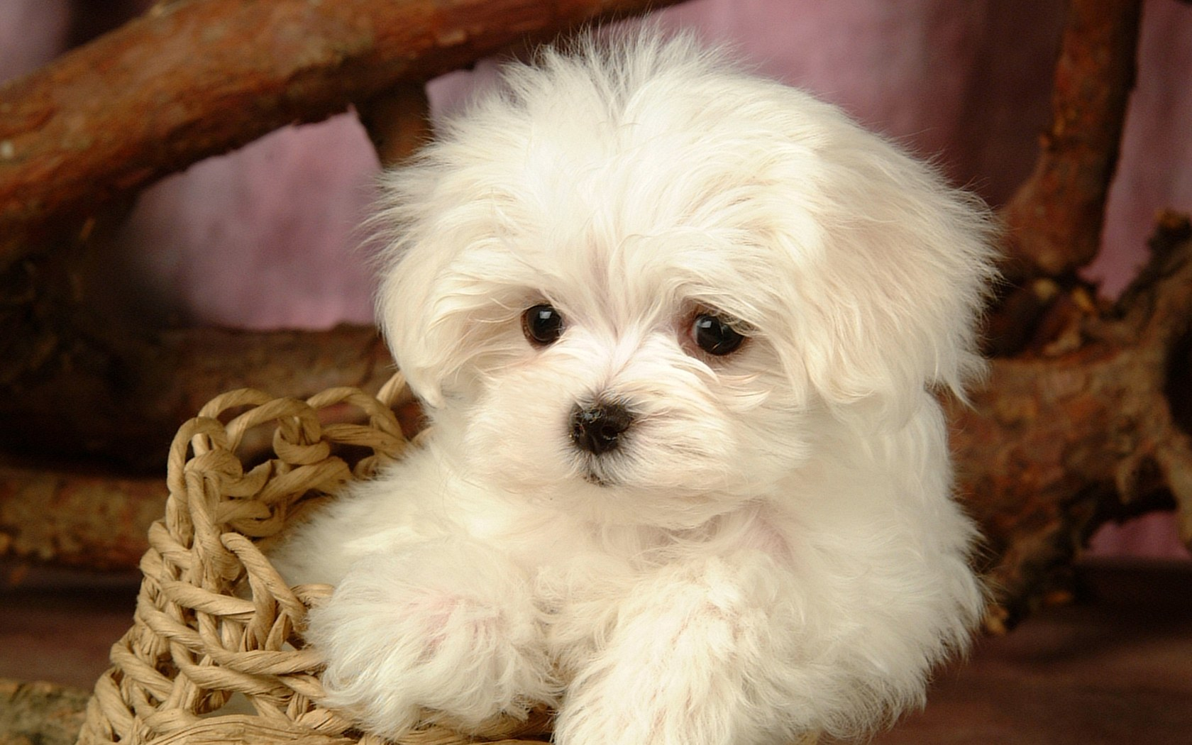 Cute White Puppy Dogs
