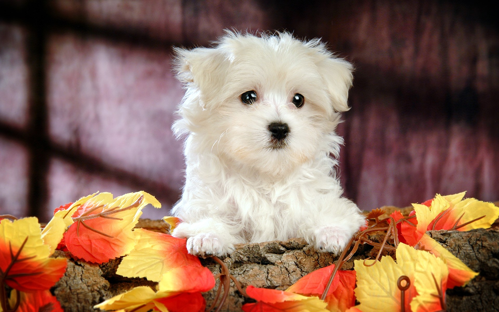 Fluffy maltese puppy dogs white maltese puppies wallpapers 1920 1200