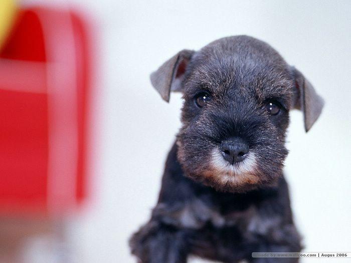 puppies wallpapers. Schnauzer puppy wallpaper