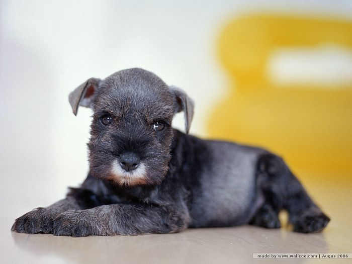 puppy wallpapers. Schnauzer puppy wallpaper