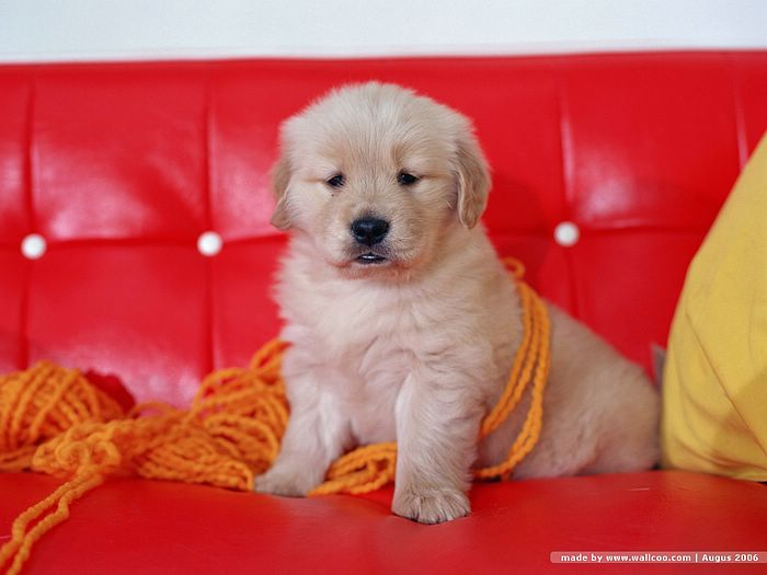 wallpaper golden retriever. Golden Retriever Puppy in