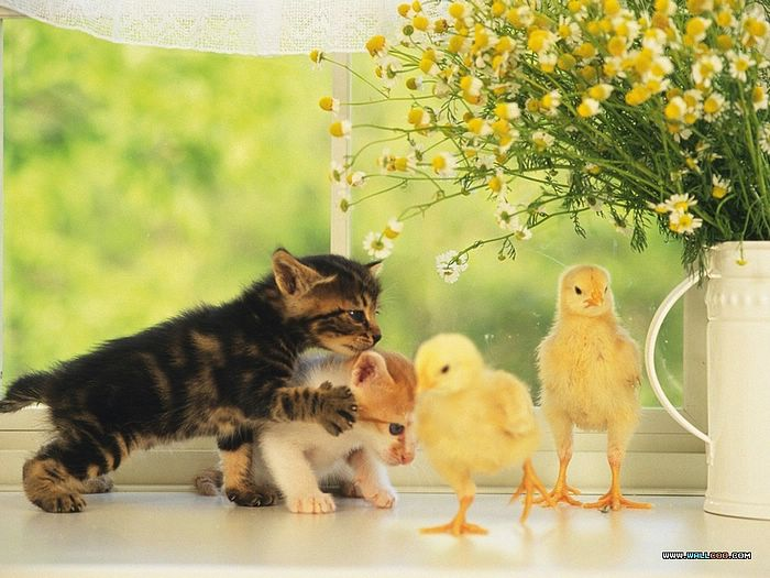 ... - Baby Chicks and Ducks - photo: Two baby chicks and two Kittens 4