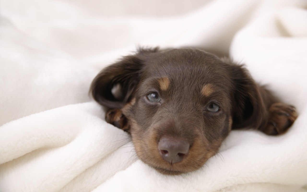 Teacup Dachshund Size Miniature and standard dachshund puppies for ...