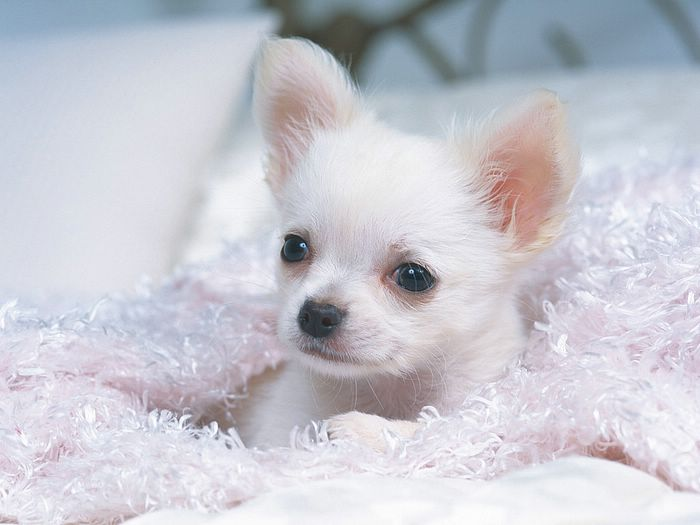... puppies :Photo: Chihuahua Puppy in a White Fluffy Blanke - Chihuahua