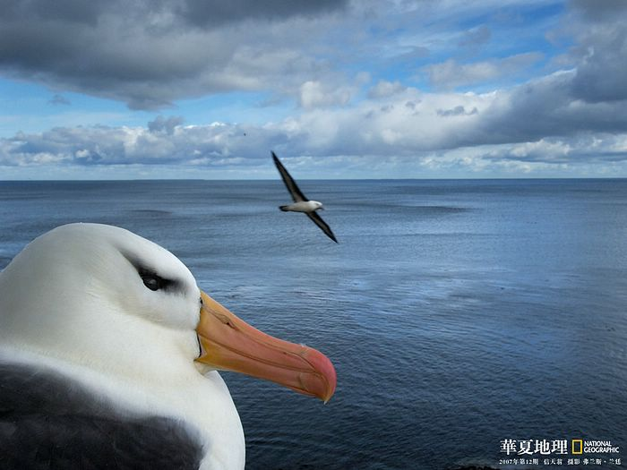 Black browed albatross photo black browed mollymawk - National geographic wild wallpapers ...