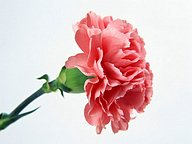 Mothers Day Carnation Flowers47 pics