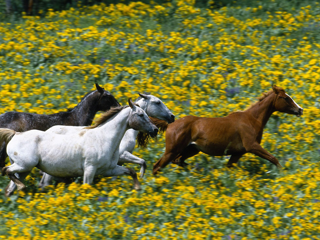 Horses Running through Fields of Flowers Pictures