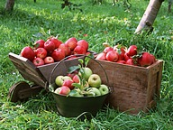 Fruit Harvest : Apples36 pics